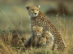 Cheetah Mother and Cubs, Masai Mara National Reserve, Kenya