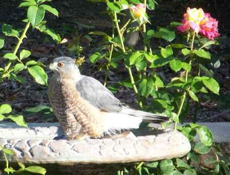 birdbath hawk