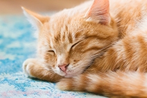 Orange-tabby-cat-sleeping-with-eyes-closed